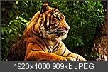 Threadul cu  Wallpapere-wild-tiger-look-1920x1080.jpg
